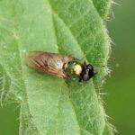 Gewone-wapenvlieg -Chloromyia formosa
