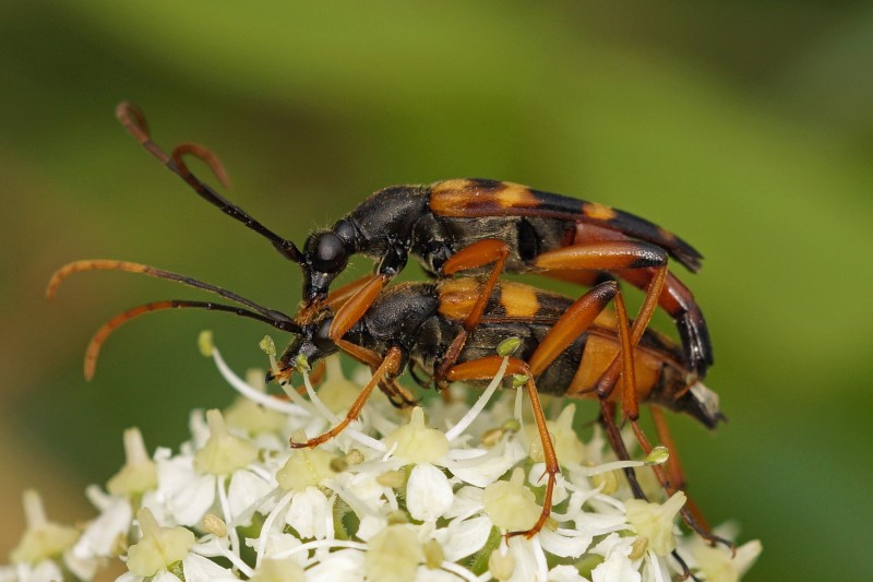 Goudharige Halsbok - Leptura aurulenta