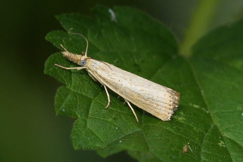 Grasmot - Diatraea saccharalis