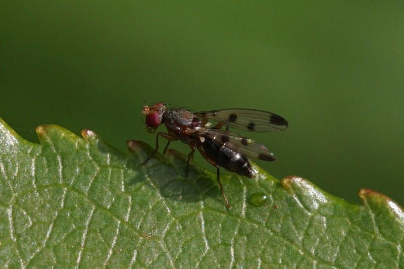 Grasvlieg -Geomyza tripunctata