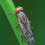 Grasvlieg -Opomyza germinationis