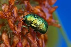 Bladhaantje - Cryptocephalus aureolus