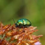 Groen Steilkopje -Cryptocephalus sericeus