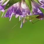 Groene Appelwants -Lygocoris pabulinus