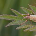 Groene Bladsnuitkever -Phyllobius pomaceus