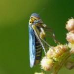 Groene Cicade -Cicadella viridis M