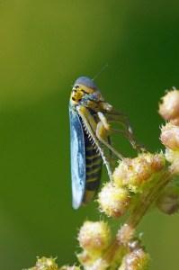 Groene Rietcicade - Cicadella viridis