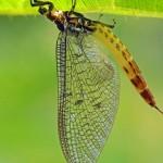 Groene Eendagsvlieg -Ephemera danica