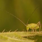 Groene Struiksprinkhaan - nimf