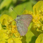 Groentje - Callophrys rubi - Lycaenidae