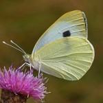 Groot Koolwitje - Pieris brassicae