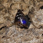 Grote Weerschijnvlinder -Apatura iris