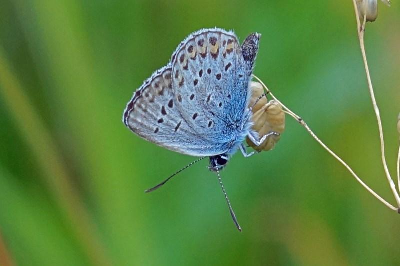 Heideblauwtje -Plebejus argus