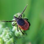 Hertenteek - Ixodes scapularis
