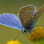 Icarusblauwtje ♂ Polyommatus icarus