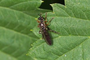 Knobbelbladjager -Dioctria rufipes