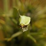 Kleine Groenuil -Earias clorana