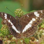 Kleine IJsvogelvlinder - Limenitis camilla