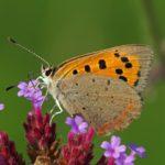 Kleine Vuurvlinder - Lycaena phlaeas