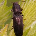 Kniptor -Ectinus aterrimus
