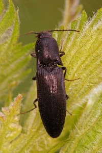 Kniptor -Sericus brunneus