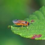Knollenbladwesp -Athalia rosae