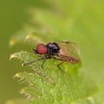 Koortsvlieg -Dilophus febrilis