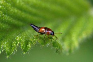 Kortschildkever- Tachyporus chrysomelinus
