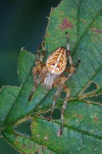 Kruisspin -Araneus diadematus