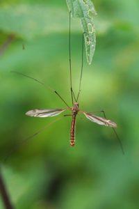 Langpootmug -Tipula lateralis