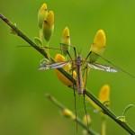 Langpootmug Tipula vernalis (zonder flits)