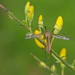 Langpootmug Tipula vernalis (met flits)