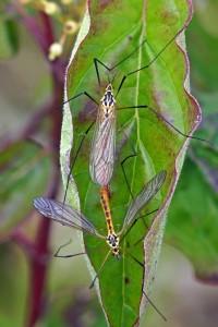 Langpootmug parend- Nephrotoma flavescens