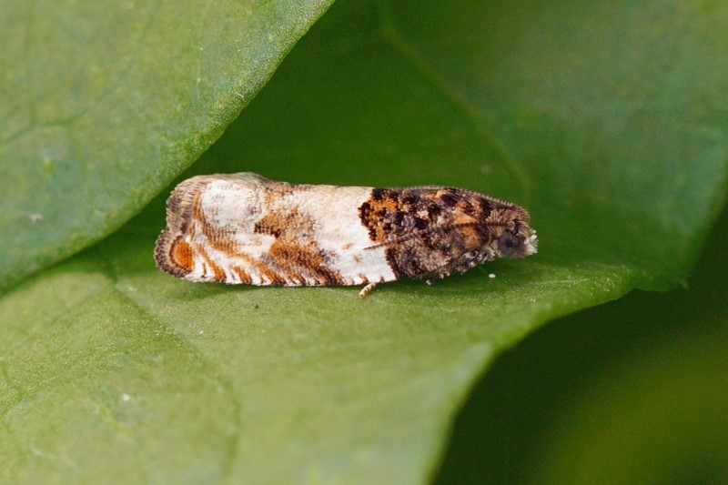 Loofboombladroller -Gypsonoma dealbana