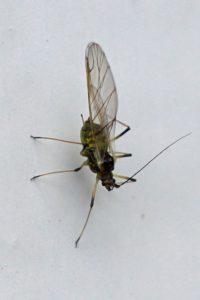 Melige Koolluis - Brevicoryne brassicae
