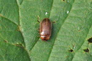 Moerasvlokever - Bruine haarkever -Microcara testacea