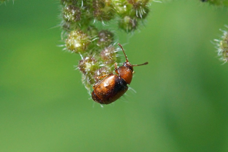 Moerasvlokever - Cyphon laevipennis