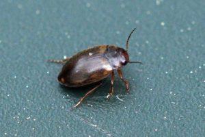 Moeraswaterroofkevertje - Hydroporus palustris