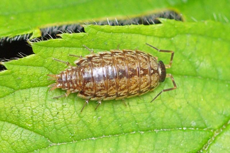 Mospissebed -Philoscia muscorum