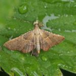 Nachtvlinder - Strooiselmot - Endotricha flammealis