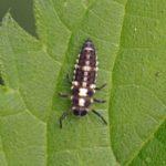 Negentienpunt lieveheersbeestje- larve