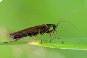 Noordse Kakkerlak -Ectobius lapponicus