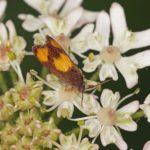 Oranje Dwergbladroller - Pammene aurana