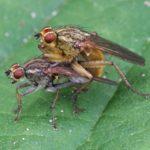 Parende Strontvliegen -Scatophaga stercoraria