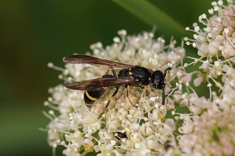 Plooivleugelwesp - Muurwesp - Symmorphus bifasciatus - vrouw