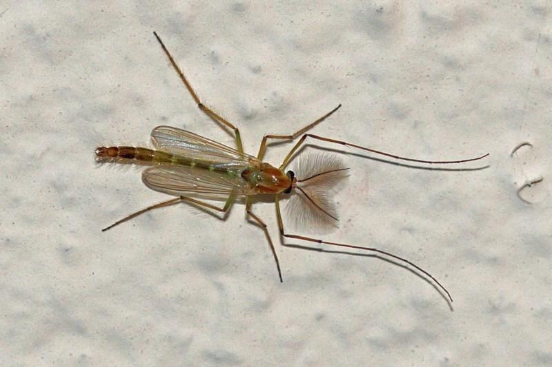 Pluimmug - Chaoborus crystallinus