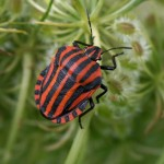 Pyjamaschildwants-Graphosoma-Italicum