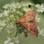 Pyralidae -Strooiselmot -Endotricha flammealis