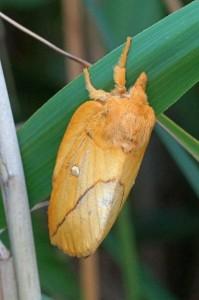 Nachtvlinder Rietvink -Euthrix potatoria
