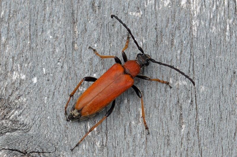 Rode Smalbok -Corymbia rubra